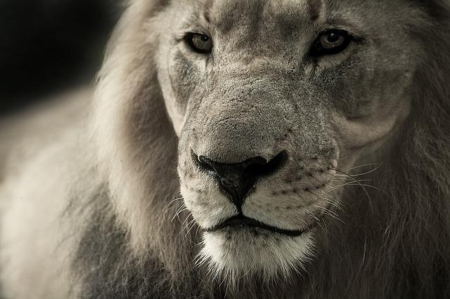 lion-588144_640